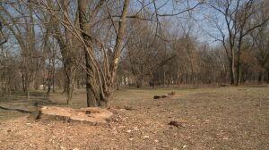 Wytną drzewa przy Polu Mokotowskim. Ochocianie: to dopiero początek