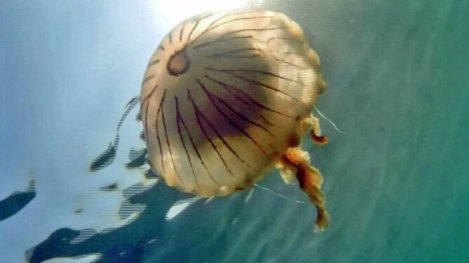Plaga metrowych meduz. Odstraszają turystów