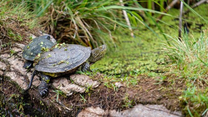 Leśnicy czuwają nad żółwiami błotnymi. Kończy się sezon lęgowy