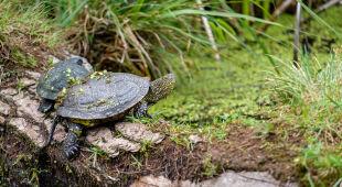 Ochrona żółwi błotnych w Nadleśnictwie Chełm