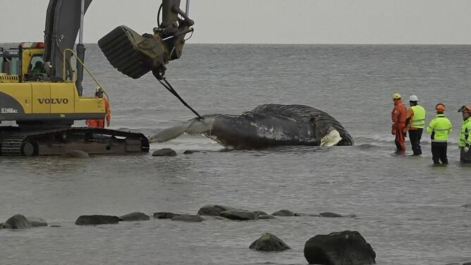 Morze wyrzuciło ciało ogromnego walenia. <br />Obawiano się, że eksploduje