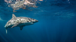 """Szukają surfera zaatakowanego przez rekina. Szanse na przeżycie """"nikłe"""""""