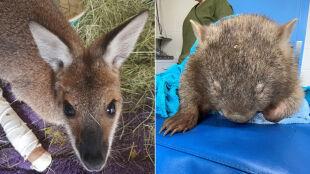 """Poparzone kangury, koale i wombaty. """"Odbudowanie populacji może trwać lata"""""""