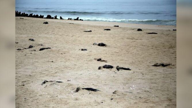 Tysiące martwych kotików wyrzuconych na brzeg. Biolodzy badają przyczynę